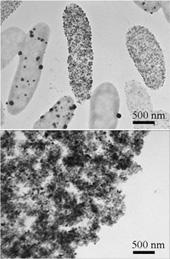 微生物(楕円形)とその表面に作り出されたレアメタル(パラジウム)微粒子(黒い粒)60 min